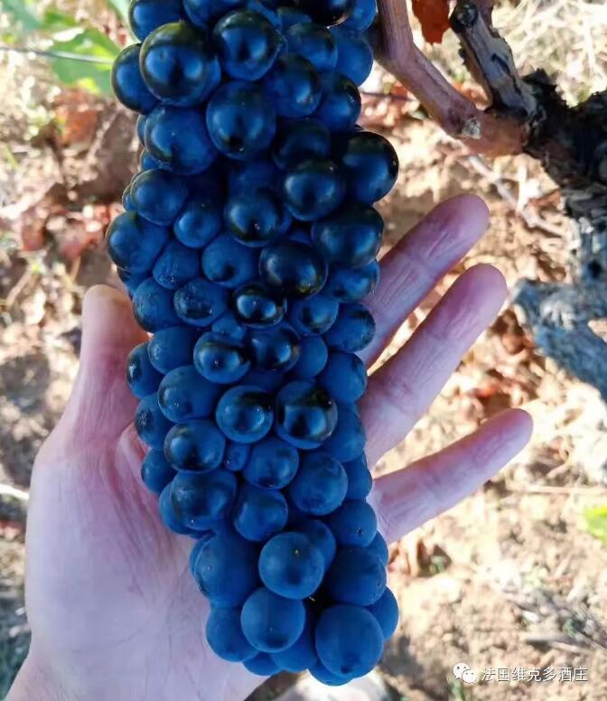 法国维克多酒庄 | 辣些年,我们做的辣个葡萄酒!