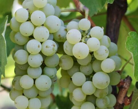 摩尔多瓦葡萄酒系列之三—葡萄品种
