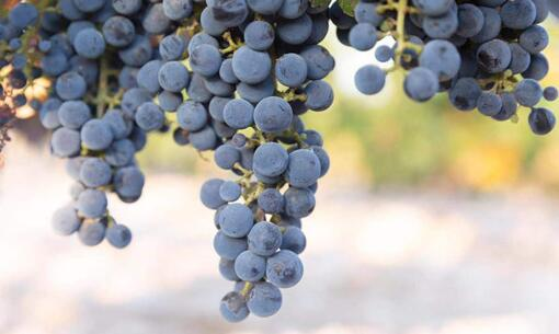 葡萄酒行业未来发展的趋势是怎样的?