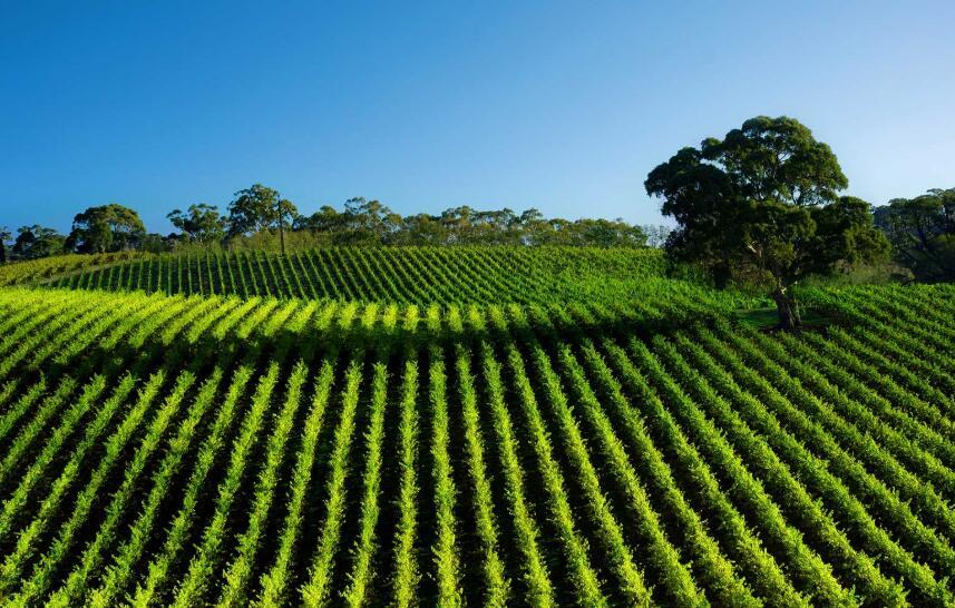 澳麒酒业品味原汁南澳葡萄酒给您带来的丰富体验