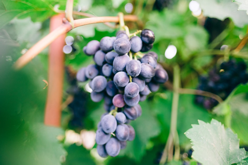 歌海娜红酒的特点是什么?