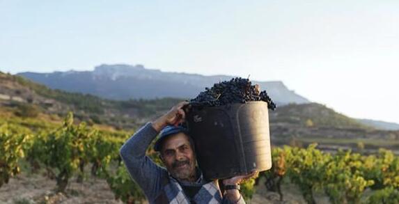 2019年里奥哈共收获约3.85亿公斤葡萄