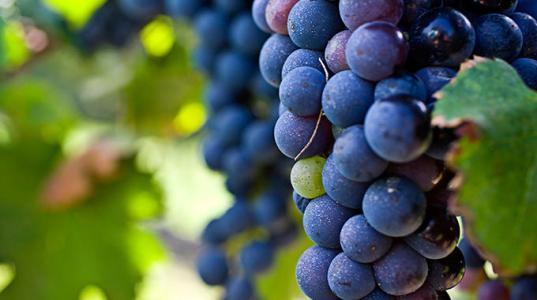 葡萄酒中的这些水果香气:黑醋栗,蔓越莓以及红醋栗,你能感受到吗
