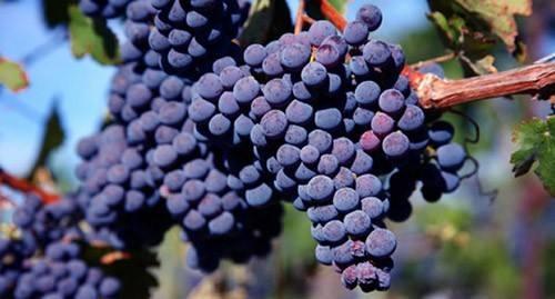 酿酒葡萄那么多,为什么赤霞珠这么受喜爱