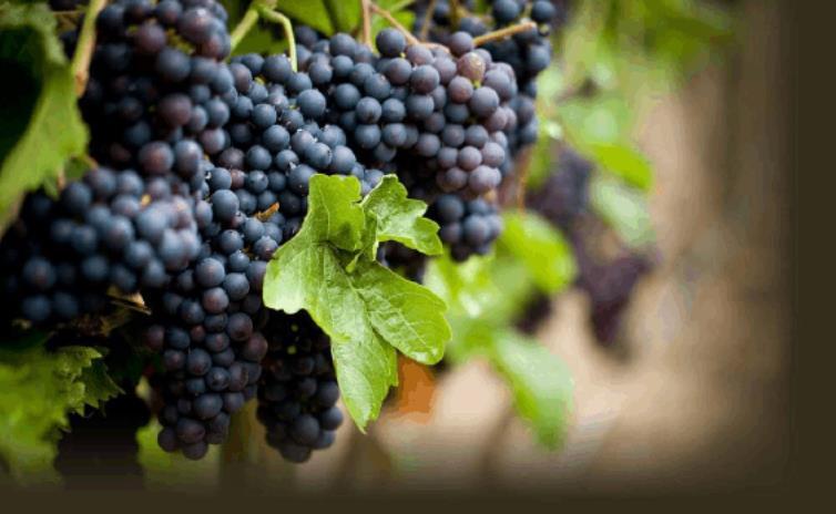 甜葡萄酒是什么我们了解多少呢?