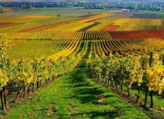 意大利最值钱葡萄园位于北部葡萄酒产区