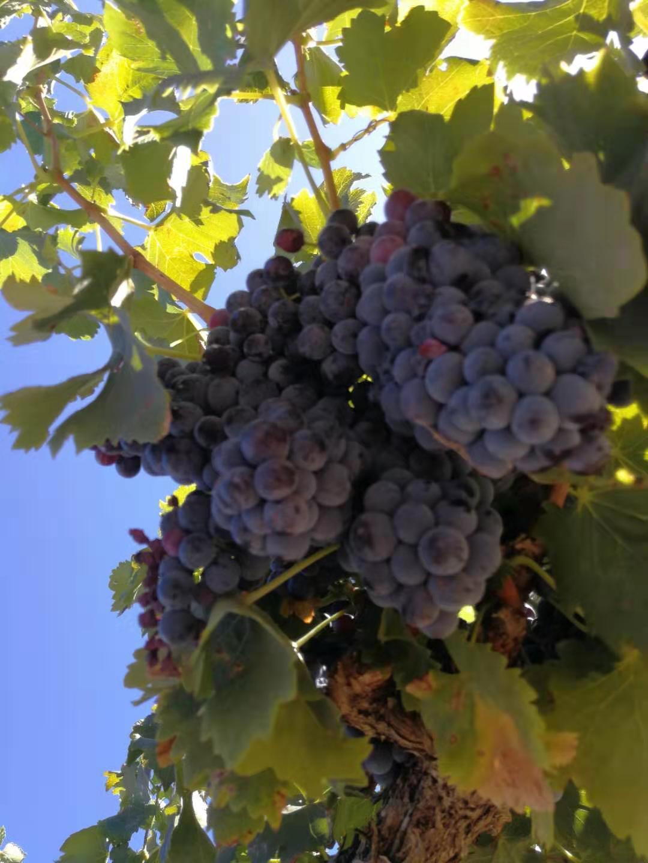 树之叶酒庄-纯有机栽培的新兴庄园-杰恩酒业代理招商