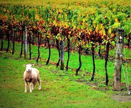 可持续种植成为葡萄酒行业未来趋势