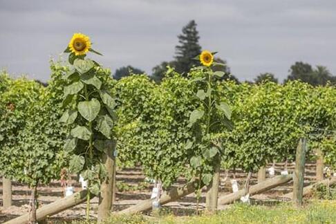 新西兰提高警戒级别,葡萄酒行业或面临停产