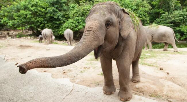 14头大象喝下30升玉米酒,在茶园醉倒了