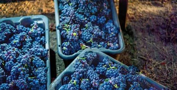 2019年美国加州纳帕县酿酒葡萄产量下降13.5%
