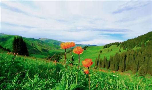 尼雅新疆天山北麓葡园正值开花坐果期