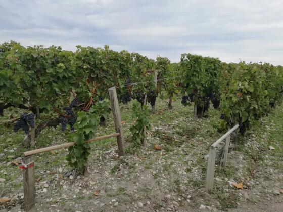 波尔多葡萄酒种植者协会计划进行减产措施