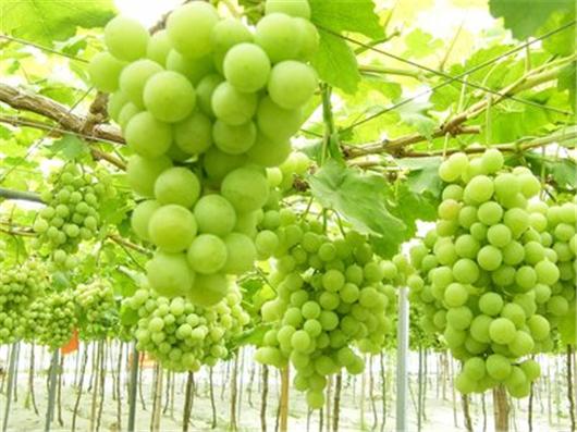 云南弥勒市葡萄产业逐步发展壮大