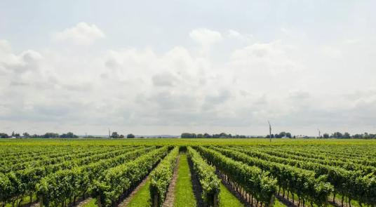 2019年意大利共拍卖了1142批葡萄园