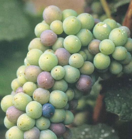 2020年香槟区葡萄成熟观测网正式启动