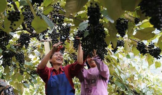 广西都安瑶族自治县毛葡萄成熟了
