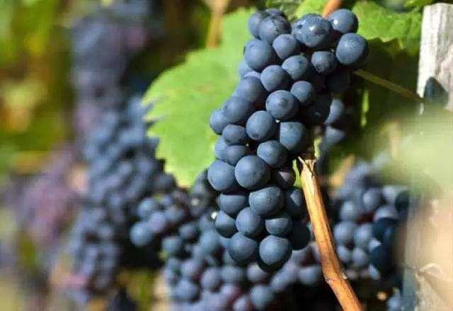 葡萄品种自身具有哪些特性