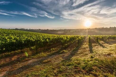 葡萄园要灌溉吗?灌溉的葡萄园不能酿出好酒?