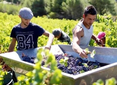 罗纳河谷区葡萄园迎来2020年份第一批葡萄收获