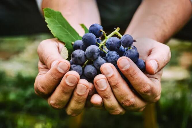 禁酒令导致南非葡萄酒行业遭受数十亿经济损失