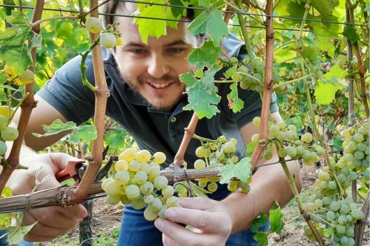 德国葡萄采收工作全面开展