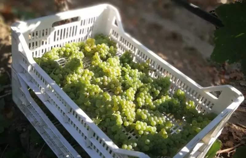 法意西三国公布2020年葡萄酒产量预测数据