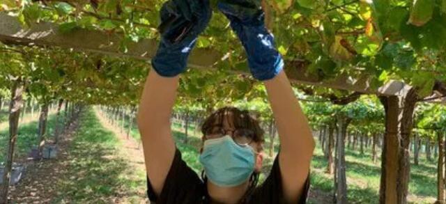 疫情卷土重来,对西班牙葡萄采收带来影响