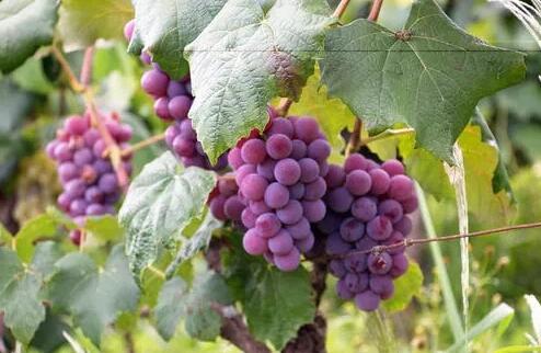 酸酸的葡萄酒,为什么是唯一的碱性酒精饮料?