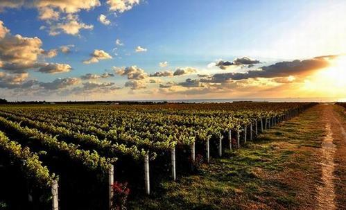 山东蓬莱葡萄酒产业迎来丰收季