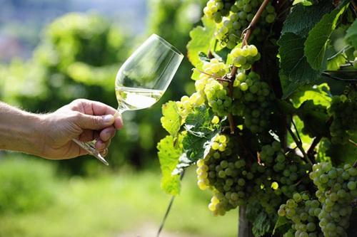 大量酿制葡萄酒对身体有什么危害
