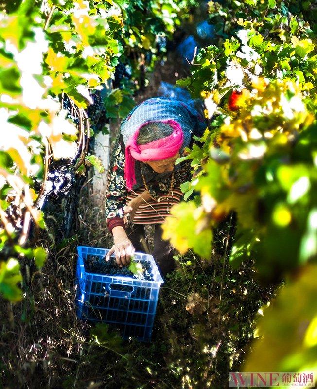 疫情下2020年葡萄的生长季