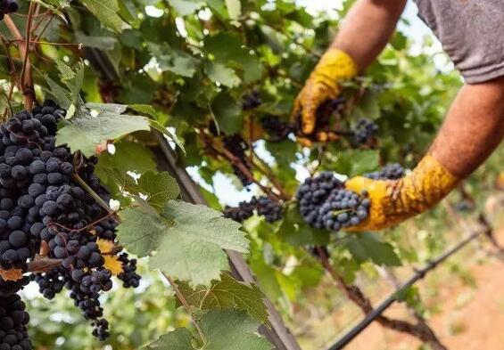 意大利曼都里亚的普里米迪沃法定产区完成2020年葡萄采摘工作