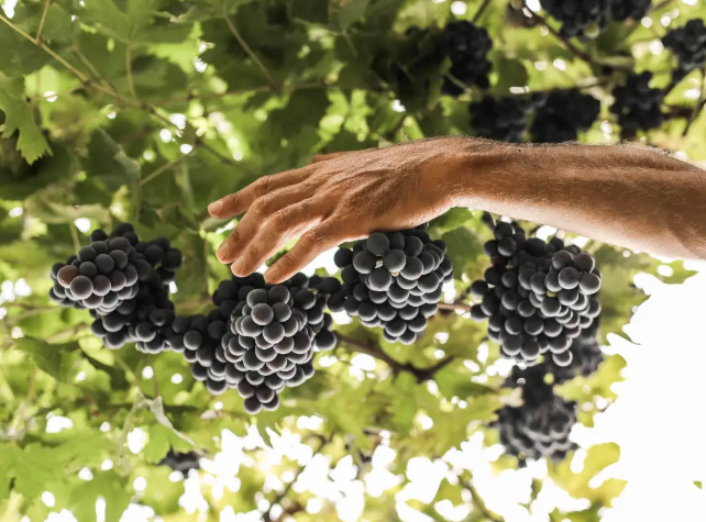 意大利,德国2020年份葡萄采收情况不错