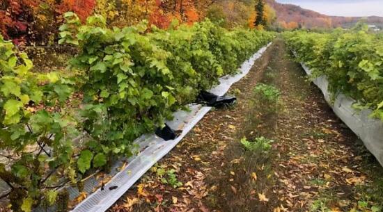 加拿大葡萄园遭遇小偷,被盗走半吨威代尔葡萄