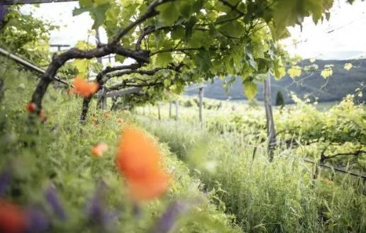 意大利上阿迪杰葡萄酒协会制定2030年葡萄酒计划