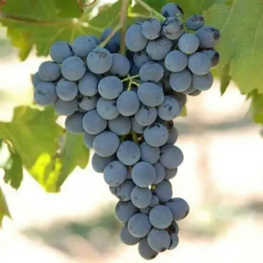 最终裁决公布,只有西西里葡萄酒法定产区才能使用黑达沃拉和格里洛品种名称