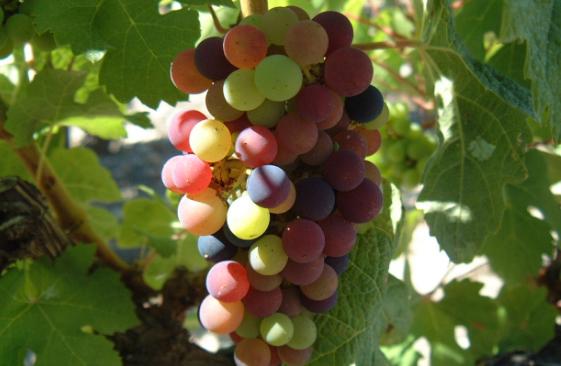 弗吉尼亚葡萄酒的未来可期