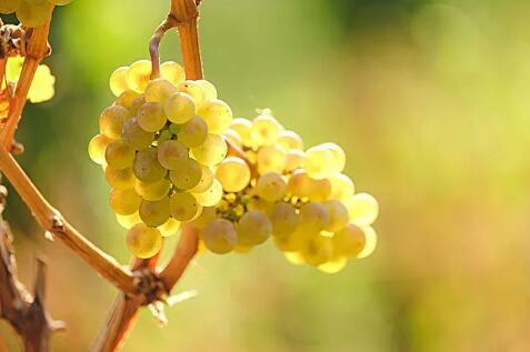 德国葡萄酒全解