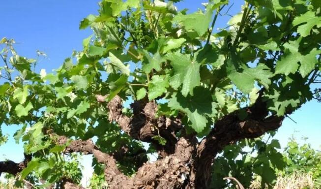 科学家发现酿酒葡萄具有特性,可以应对气候变化