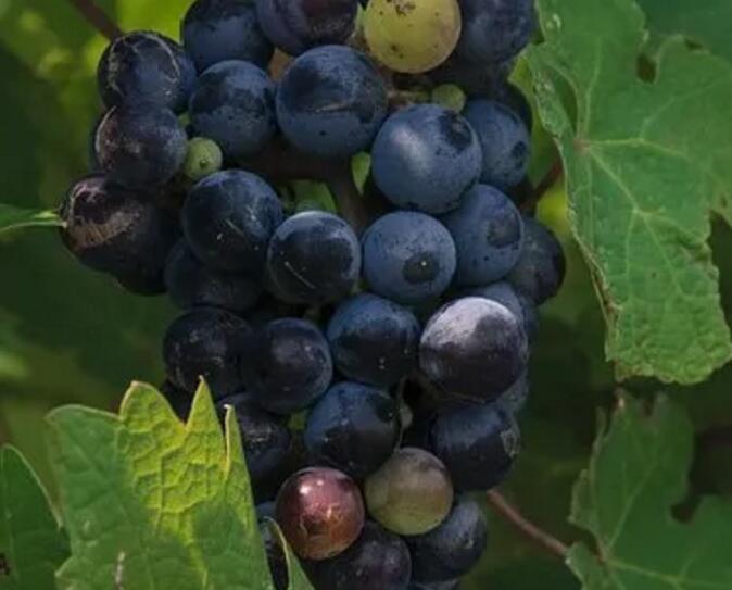 智利赤霞珠近年来为何更受市场的欢迎   逸伦葡萄酒