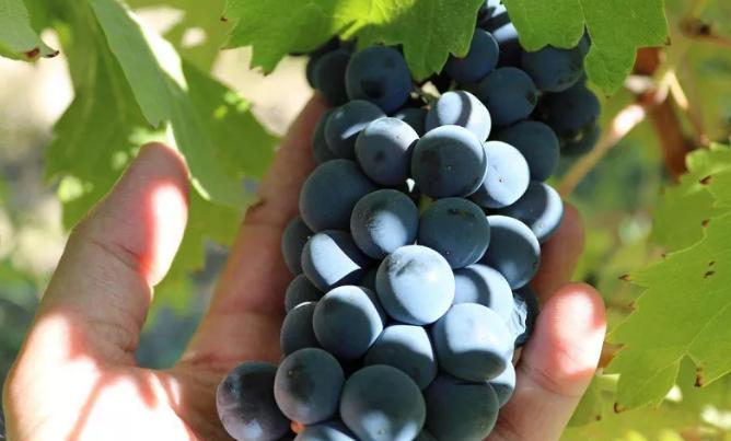 为什么有些红酒能如天鹅绒般丝滑~