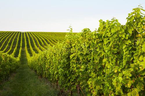波尔多大学借助气候实验提高葡萄酒适应条件