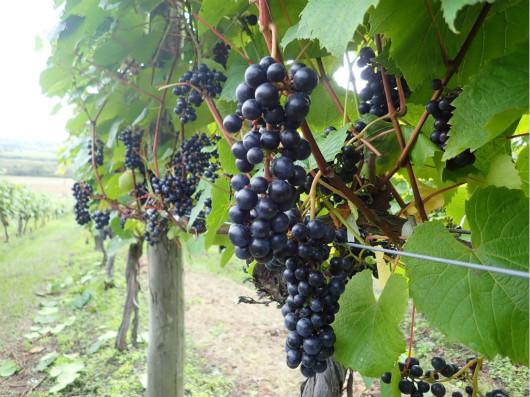 日本葡萄新品种山幸被收录到OIV《国际葡萄品种名录》
