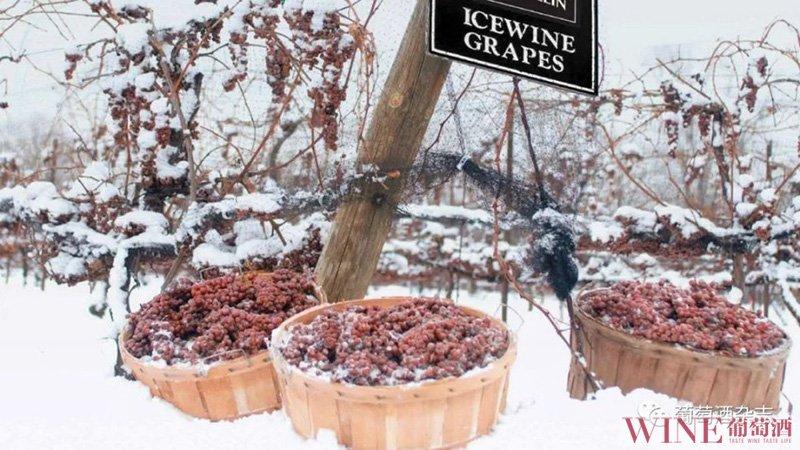 我不知道你是怎么过冬的,但葡萄是这样的