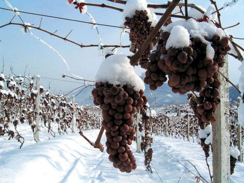 云南腊普河谷酒庄高海拔葡萄园迎来冰葡萄采收季