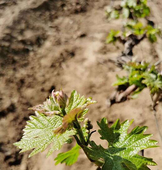 朗格斯酒庄2020年葡萄园年度报告公布