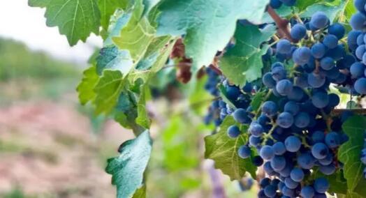 2020年宁夏葡萄酒出口实现逆势增长