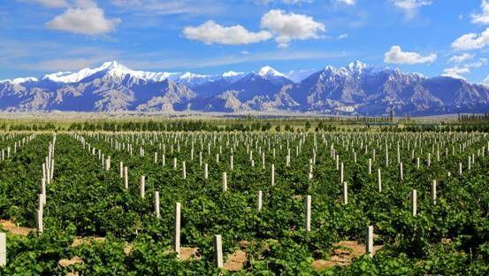 2020年新疆焉耆县葡萄产业总产值达3.5亿元