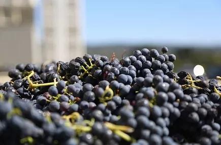 《2020年加州葡萄酒压榨初步报告》公布